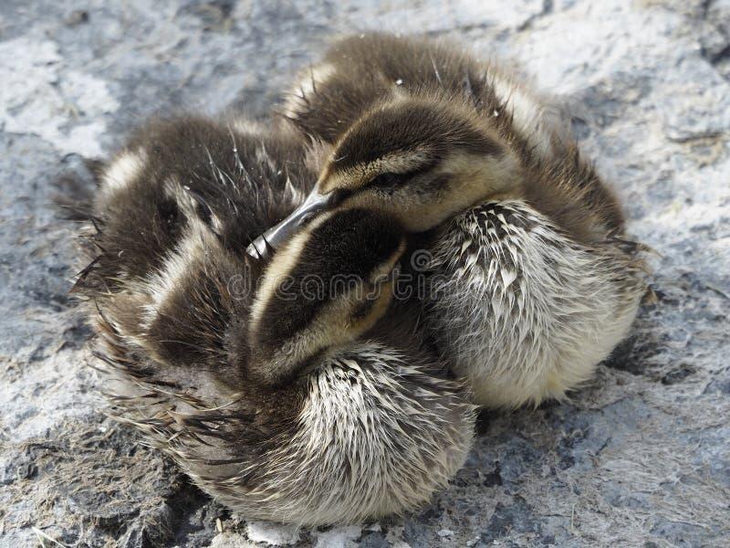 Dwa ślicznej kaczątka Mallard kaczki cuddled wpólnie zdjęcia stock