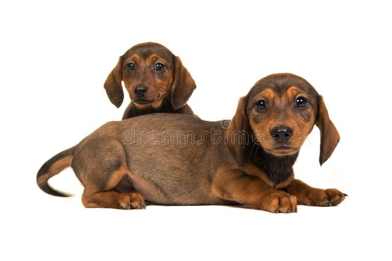 Dwa śliczny obsiadanie i łgarski shorthair jamnika szczeniaka psów stawiać czoło fotografia royalty free