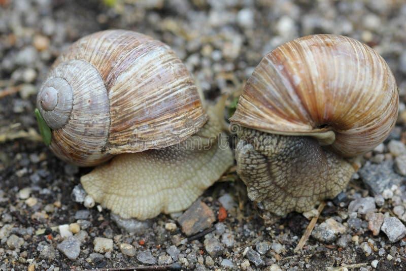 Dwa ślimaczka na ziemi 7830 zdjęcie stock
