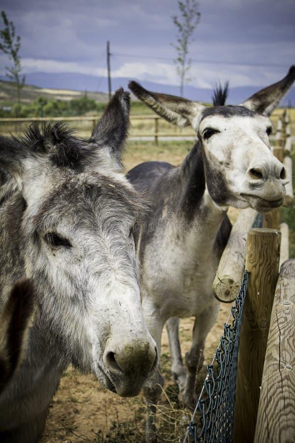 Dwa śmiesznego osła na gospodarstwie rolnym fotografia royalty free