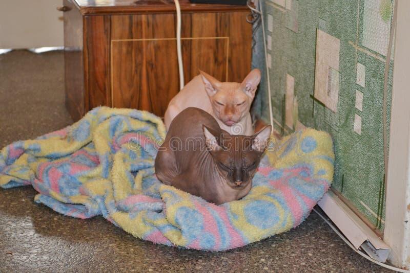 Dwa śmiesznego popielatego sfinksa kota zwierzę zdjęcia royalty free
