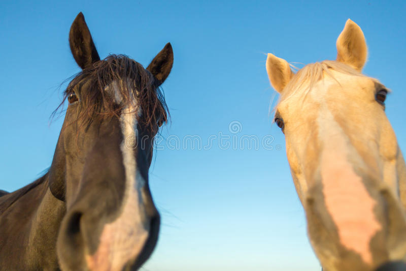 Dwa śmiesznego twarz konia zdjęcie royalty free