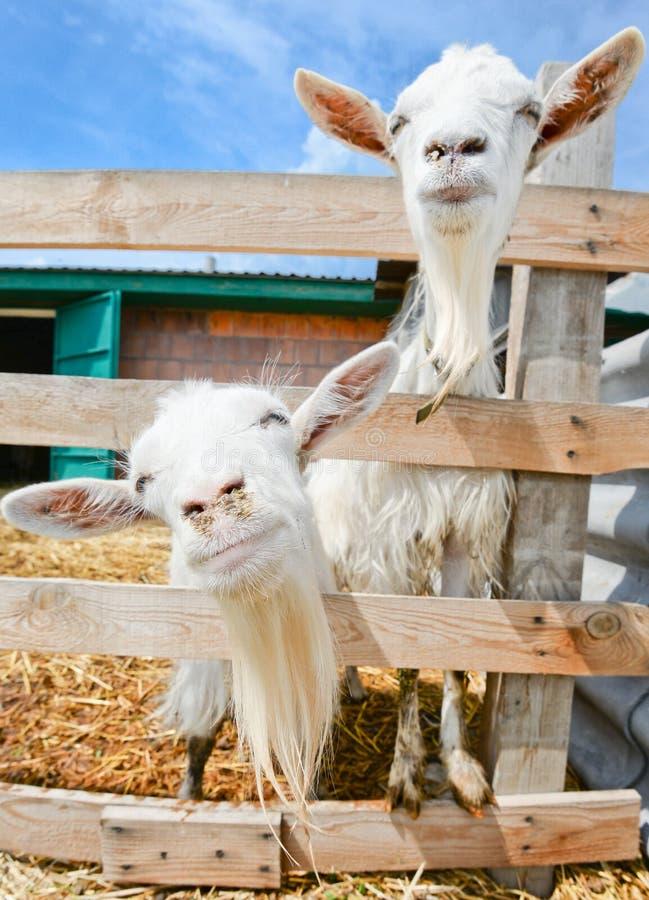 Dwa śmiesznej kózki na gospodarstwie rolnym obraz stock