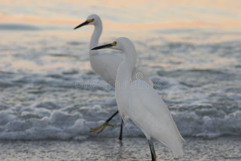 Dwa Śnieżnego Egrets na plaży obraz royalty free