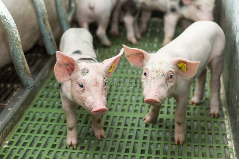 Dwa świni, Świniowaty gospodarstwo rolne, Śmieszni prosiaczki fotografia stock