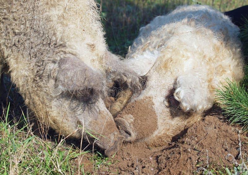 Dwa świni kędzierzawy wykopaliska w ziemi zdjęcia stock