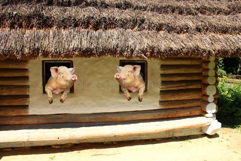 Dwa świni spojrzenie przy each inny od okno stary wiejski dom zdjęcie stock