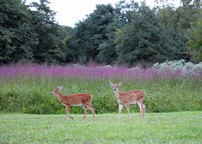 Dwa źrebięcia z punkt sztuką przed purpurowym wrzosem zdjęcia royalty free