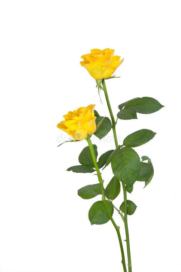 dwa żółte róże fotografia royalty free