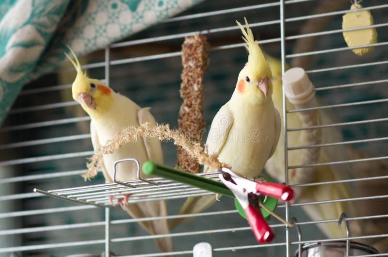 Dwa żółtej cockatiel papugi zdjęcie stock