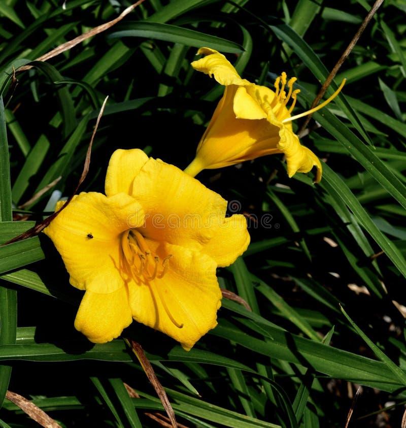 Dwa żółtej lelui zdjęcie stock