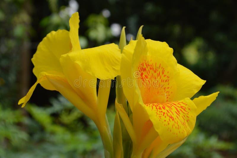 Dwa Żółty irys jak kwiatu Singapur ogródy botaniczni zdjęcia royalty free