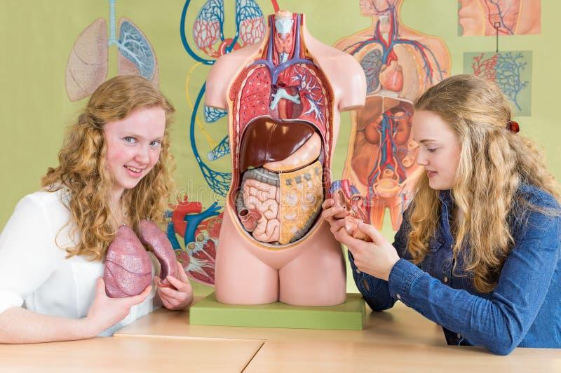 Dwa żeńskiego ucznia studiują ludzkich organy w biologii lekci obrazy royalty free
