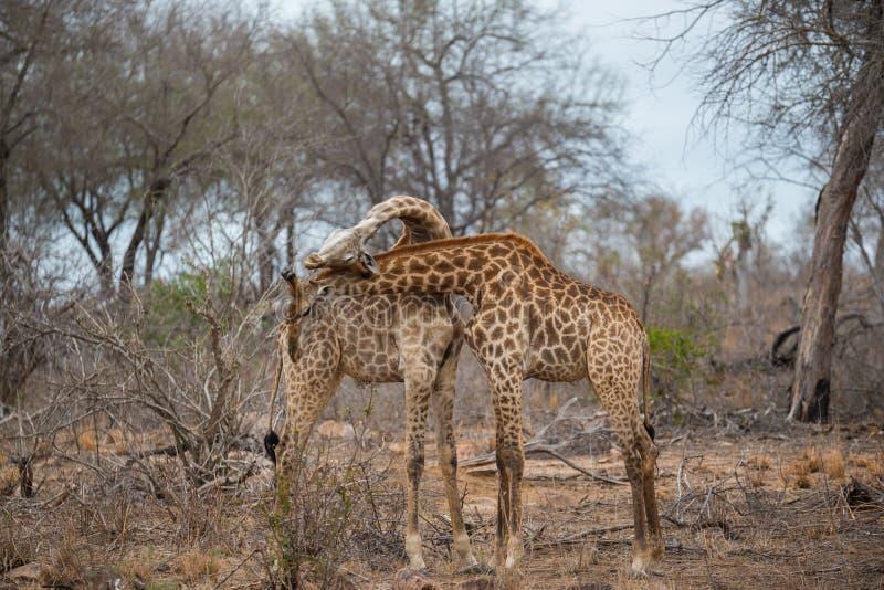 Dwa żyraf bój w Kruger parku narodowym i necking fotografia royalty free