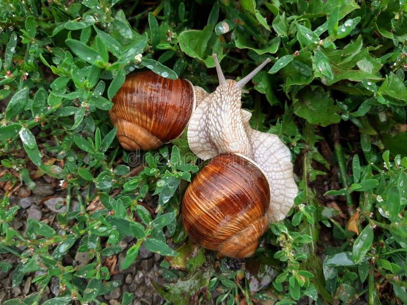 Dwa żywego wino ślimaczka wśród mokrej trawy po deszczu W Europa, gronowi ślimaczki jedzą obraz stock
