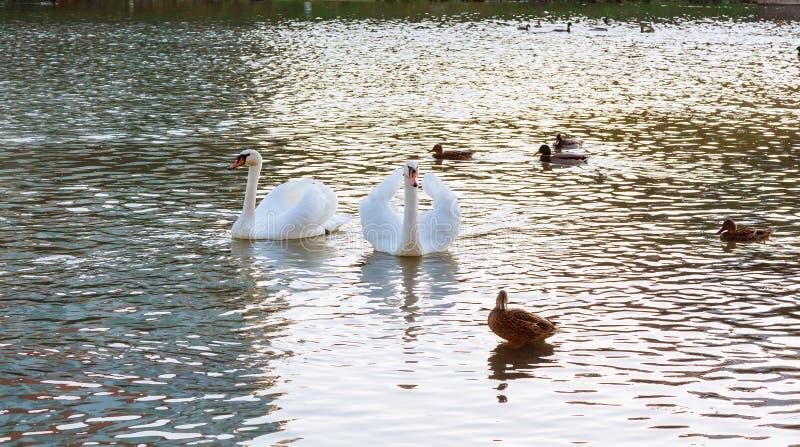 Dwa ?ab?d? bia?y p?awik na wodzie w parku fotografia royalty free