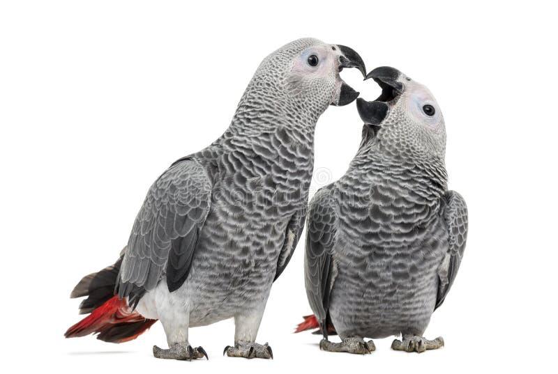 Dwa Afrykański Popielaty Papuzi dzióbać (3 miesiąca starego) zdjęcia royalty free
