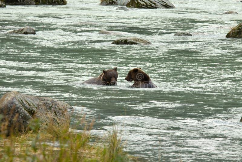Dwa Alaskiego Brown niedźwiedzia łowi dla łososia w Chilkoot rzece obraz stock