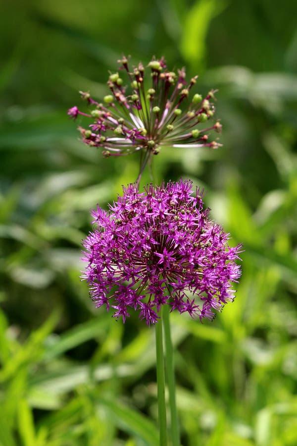 Dwa Allium lub Ornamentacyjne cebulkowe round kwiatu głowy komponujący tuziny w pełni otwarty kwitnienie i stronniczo zamykająca  zdjęcia royalty free