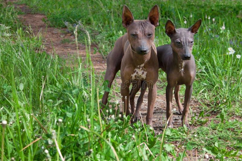 Dwa amerykańskiego bezwłosego teriera szczeniaka stoją na zielonej łące fotografia royalty free