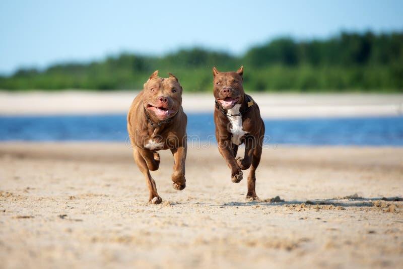 Dwa amerykan pit bull terier jest prześladowanym bieg na plaży wpólnie obraz royalty free