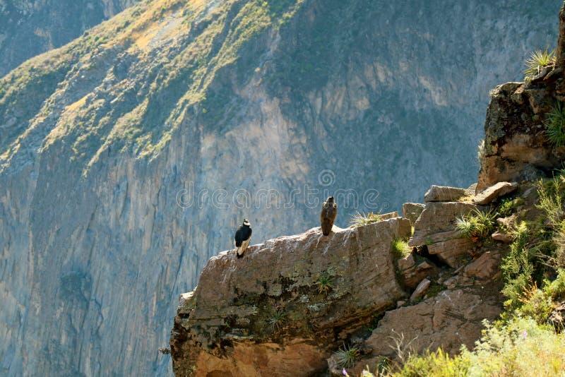 Dwa Andyjskiego kondora Umieszcza na falezie Colca jar Sławny punkt dla Oglądać Andyjskiego kondora ptaki, Arequipa region, Peru obrazy stock