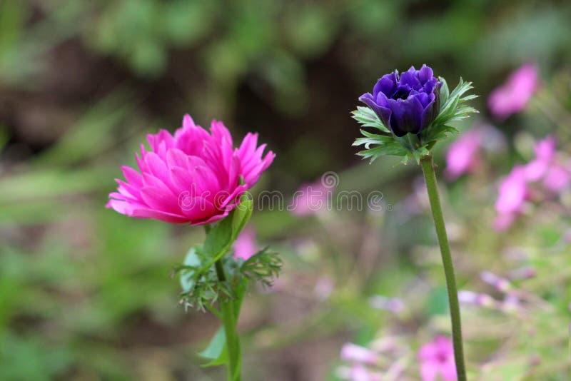 Dwa Anemonowej odwiecznie rośliny z fiołka i zmroku menchiami stronniczo otwierają płatki r w lokalnym miastowym ogródzie obraz stock