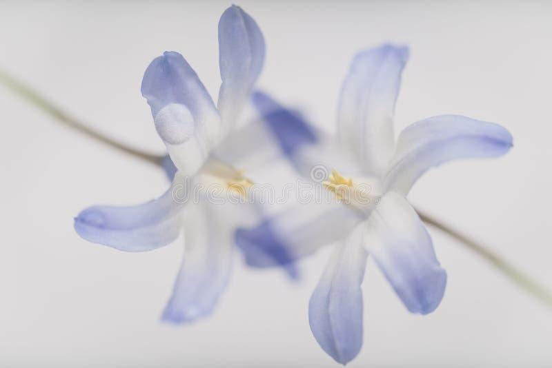 Dwa błękit wiosny kwiatu na lekkim tle lubią jeżeli całowali zdjęcia stock