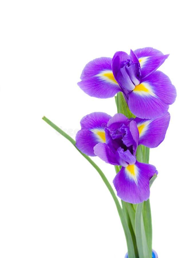 Dwa błękita irise kwiatu zdjęcie stock