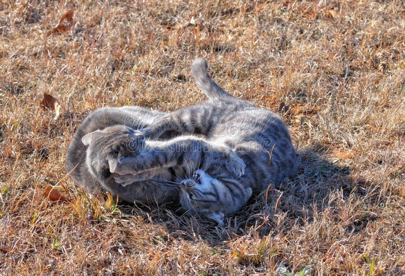 Dwa błękitnego tabby kota walczy w zimy trawie obraz royalty free