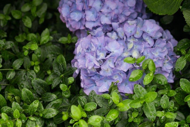 Dwa błękitnej hortensi zdjęcia royalty free