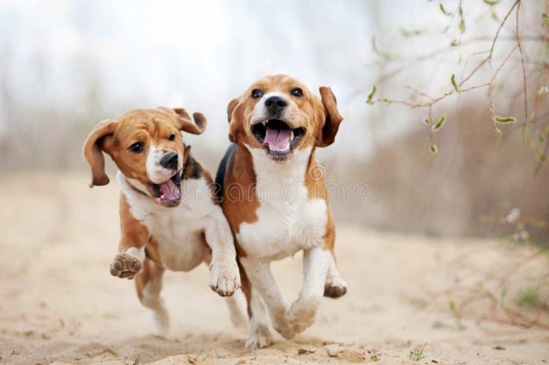 Dwa beagle psów śmieszny biegać fotografia royalty free