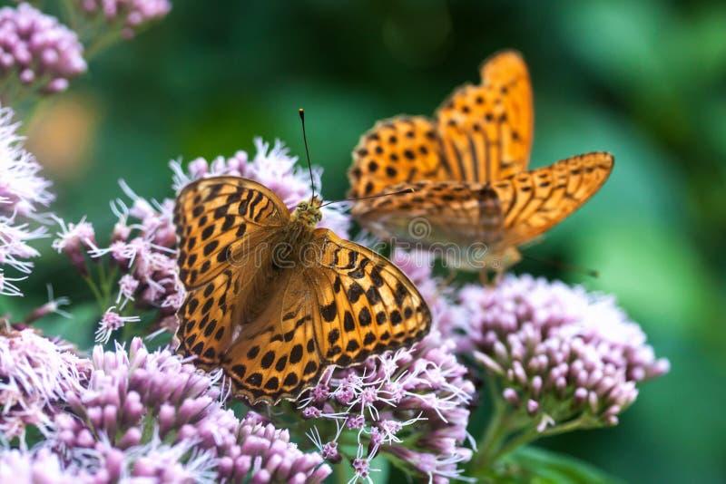 Dwa beautyful motyla na kwiatach łąkowych obrazy royalty free