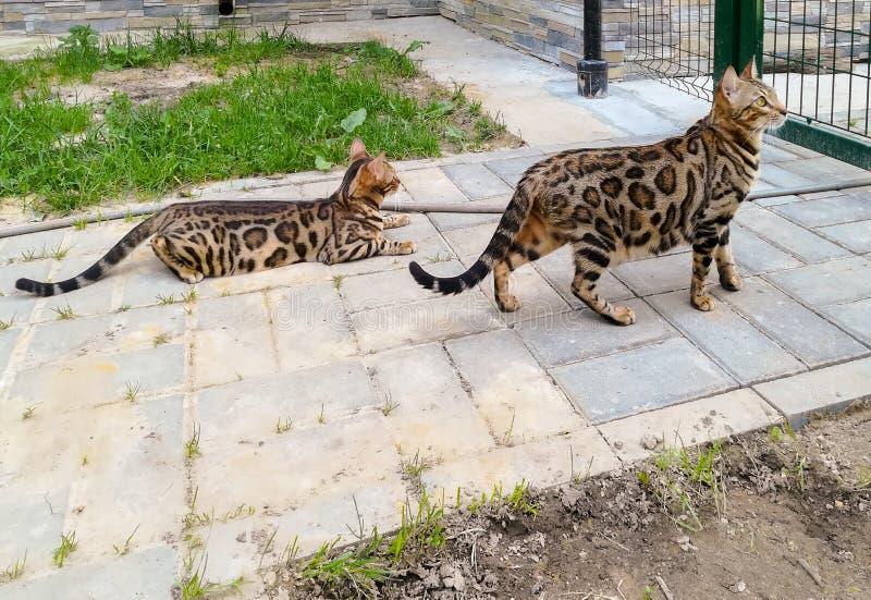 Dwa Bengal śliczny uroczy domowy kot plenerowy fotografia stock