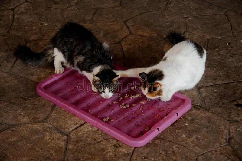 Dwa bezdomnego kota walczy dla jedzenia w schronieniu fotografia royalty free
