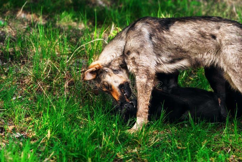 Dwa bezdomnego szczeniaka bawić się na zielonej trawie obrazy stock