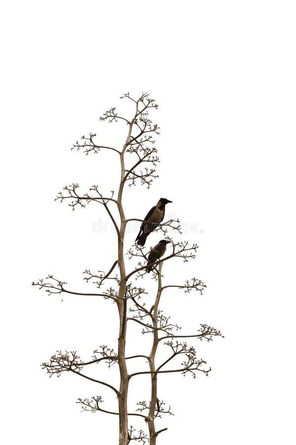 dwa białe tło ptaków zdjęcie royalty free