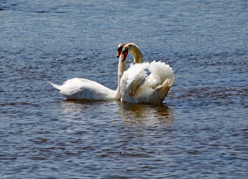 Dwa białego łabędź zostają blisko do each inny na rzecznym cioski ujściu w Devon zdjęcia royalty free