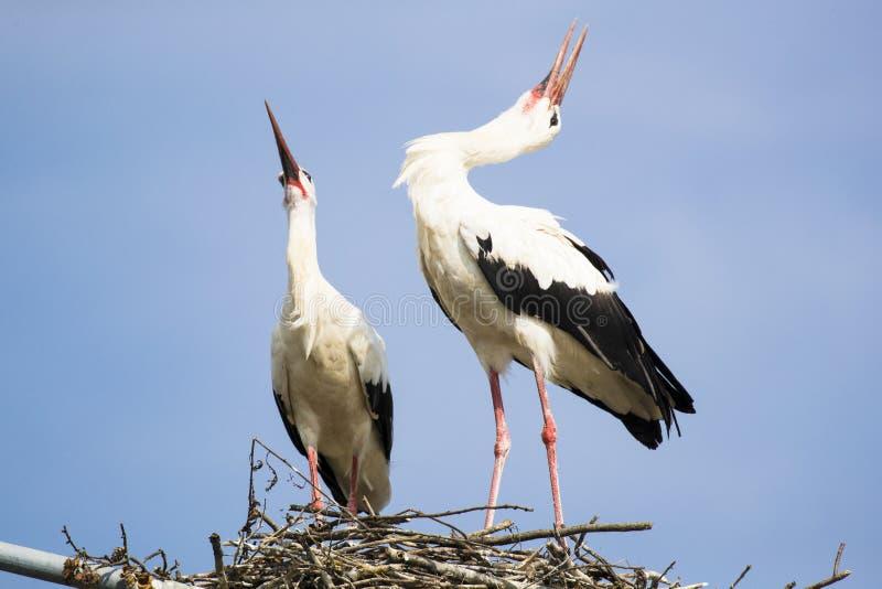 Dwa białego bociana ono wokalizuje podczas kotelnia sezonu z ich głowami z powrotem zdjęcie stock