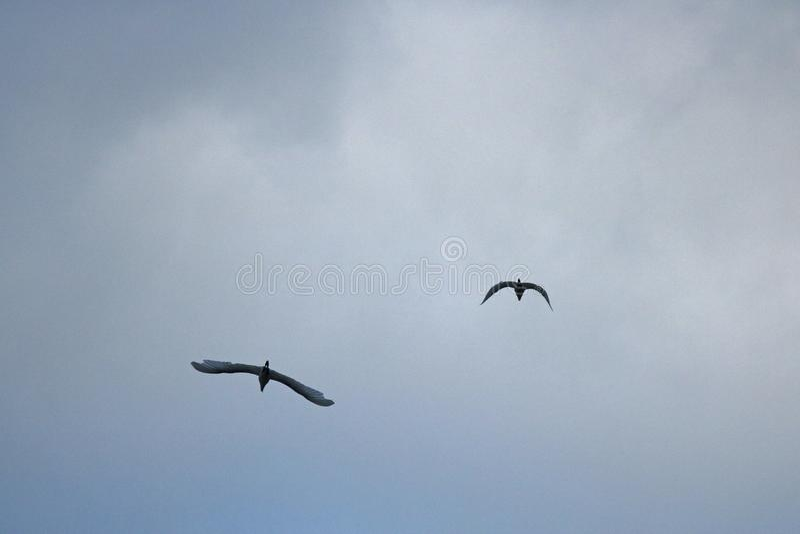 DWA BIAŁEGO EGRET ptaka LATA PRZECIW CHMURZĄCEMU niebu fotografia stock