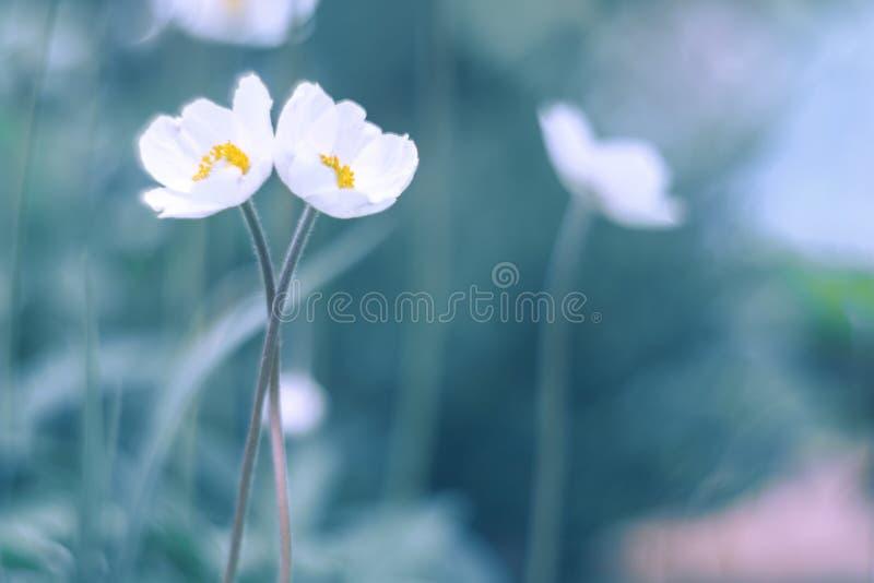 Dwa białego kwiatu delikatnie natchnącego w rękach Artystyczni sposobu kwiatu anemony obrazy stock