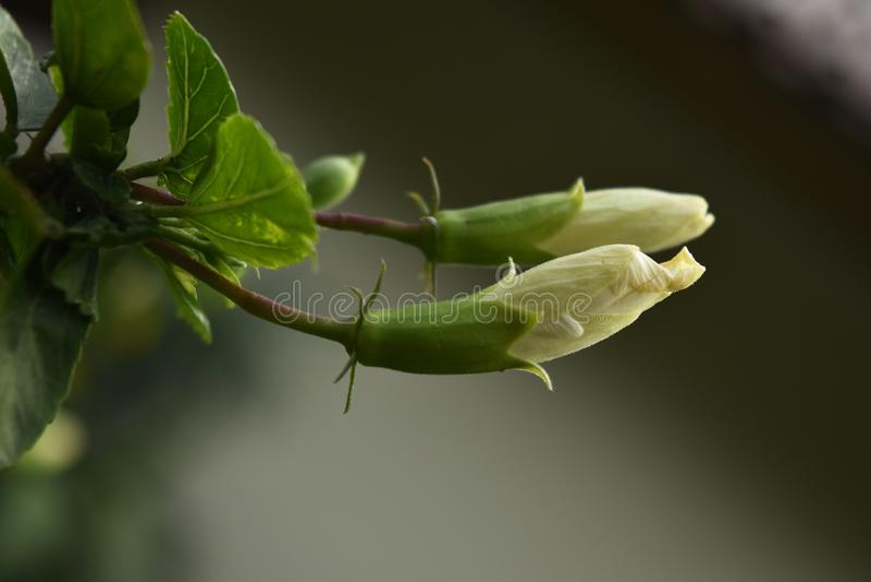 Dwa Białego poślubnika kwiatu pączka fotografia royalty free