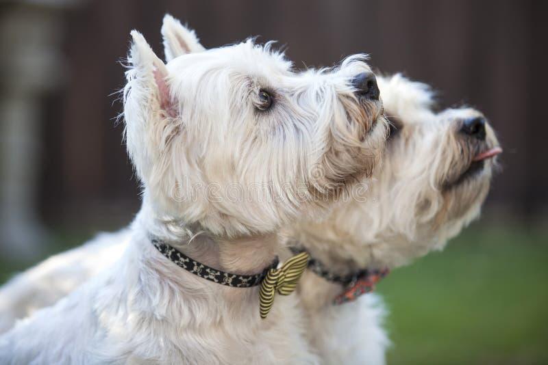 Dwa białego z rodziny psów przyjaciela obrazy royalty free
