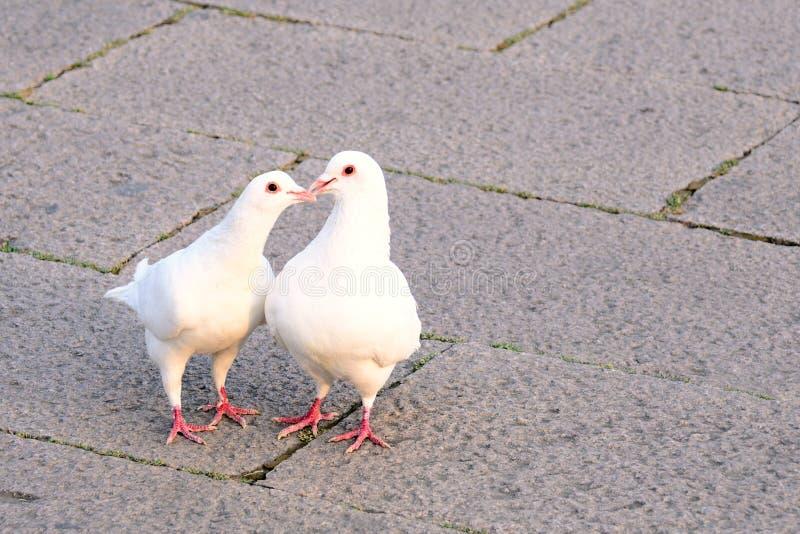 Dwa białych gołąbki, cyzelatorstwo i całowania, obrazy stock