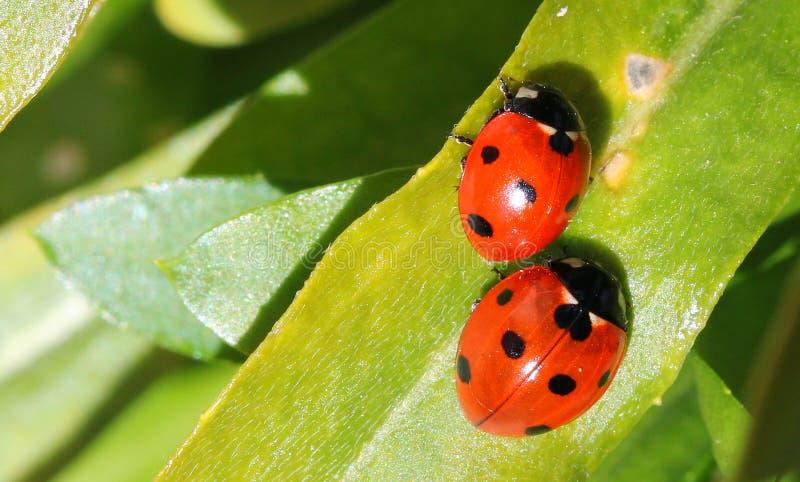 Dwa biedronki lub ladybirds (Coccinellidae) fotografia stock