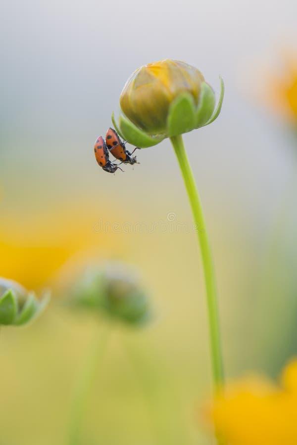 Dwa biedronki na żółtym kwiacie fotografia stock