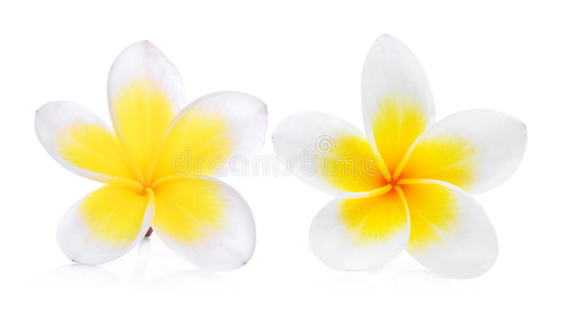 Dwa biel frangipani plumeria kwiat odizolowywający na bielu zdjęcia royalty free