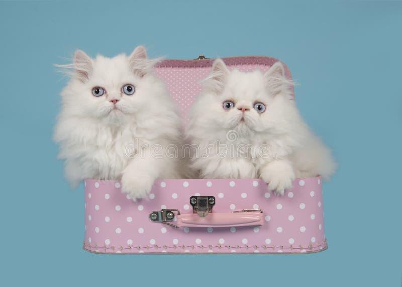 Dwa biel perskiej longhair figlarki z niebieskimi oczami w różowym kostiumu zdjęcia stock