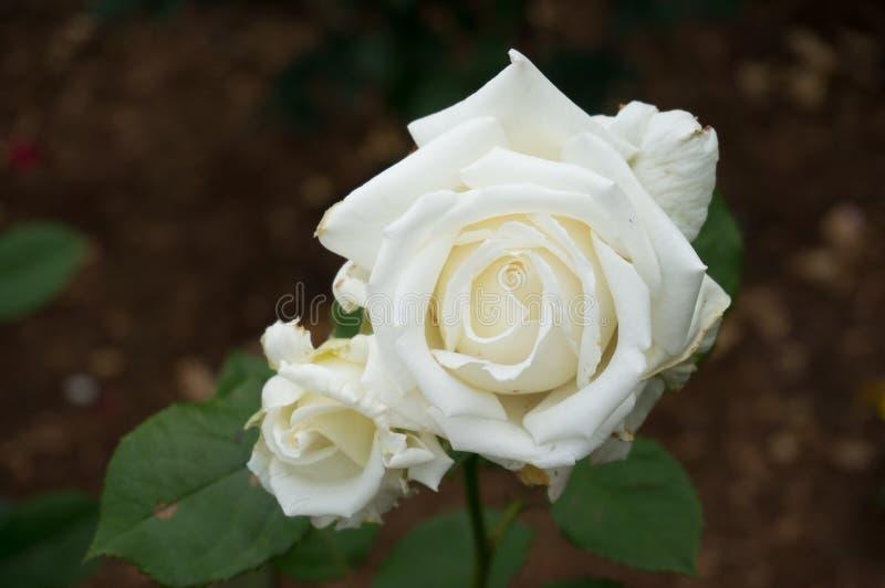 Dwa bielu kremowa róża kwitnie na gałąź zdjęcia royalty free