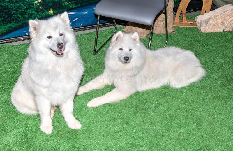 Dwa bielu Samoyed psa zdjęcie royalty free